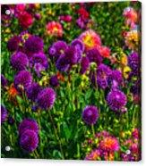 Purple Dahlias Acrylic Print