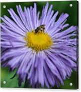 Purple Daisy And Guest Acrylic Print