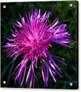 Purple Dandelions 4 Acrylic Print