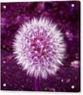 Purple Dandy Acrylic Print