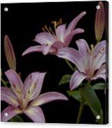 Purple Day Lilies Acrylic Print