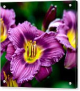 Purple Day Lillies Acrylic Print