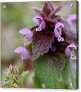 Purple Deadnettle Bloom Acrylic Print