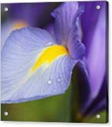 Purple Dutch Iris Flower Macro Acrylic Print