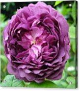 Purple English Rose Acrylic Print