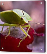 Purple Eyed Green Stink Bug Acrylic Print