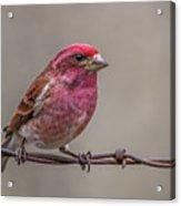Purple Finch On Barbwire Acrylic Print