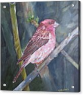 Purple Finch Acrylic Print