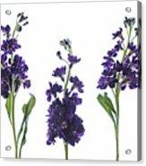 Purple Floral 2 Acrylic Print