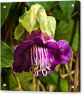 Purple Flower Of The Vine Known As Cathedral Bells Acrylic Print
