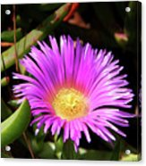 Purple Flower On California Coast Acrylic Print