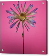 Purple Flower Pink Background Acrylic Print