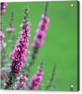 Purple Flowers In A Field Acrylic Print