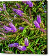 Purple Flowers Of Chiloe Acrylic Print