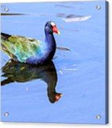 Purple Gallinule Acrylic Print