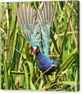 Purple Gallinule In Flight Acrylic Print