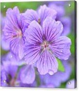 Purple Geranium Acrylic Print