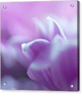 Purple Glow. Gentle Floral Macro Acrylic Print