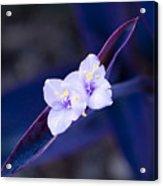 Purple Heart Flowers Acrylic Print