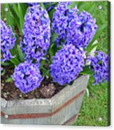 Purple Hyacinth Flowers Planter Acrylic Print