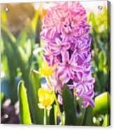 Purple Hyacinth Acrylic Print
