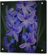 Purple Hyacinths - 2015 D Acrylic Print