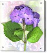 Purple Hydrangea Acrylic Print