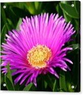 Purple Ice Plant Acrylic Print