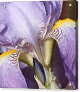 Purple Iris Beauty Acrylic Print