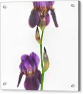 Purple Iris Duet Acrylic Print