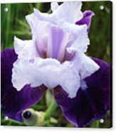 Purple Iris Flower Art Prints Garden Floral Baslee Troutman Acrylic Print