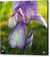 Purple Iris In Late Afternoon Acrylic Print