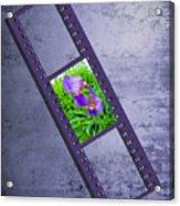 Purple Iris Passion Acrylic Print