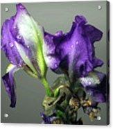 Purple Iris Water Drops Acrylic Print