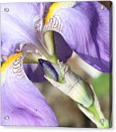 Purple Iris With Focus On Bud Acrylic Print