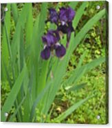 Purple Iris With Green Leaves Acrylic Print by Sharon McKeegan