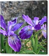Purple Irises With Gray Rock Acrylic Print