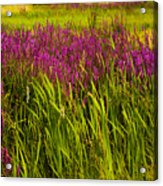 Purple Loosetrife And Cat-tails Acrylic Print