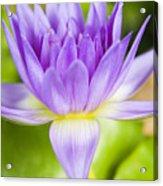 Purple Lotus Blossom Acrylic Print