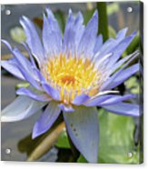 Purple Water Lily Flowers Blooming In Pond Acrylic Print
