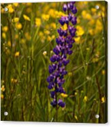 Purple Lupin And Buttercups Acrylic Print