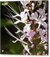 Purple Lycoris Acrylic Print