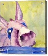Purple Mule Acrylic Print