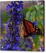 Purple Monarch Acrylic Print