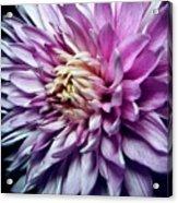 Purple Mum Acrylic Print