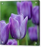 Purple Ones Acrylic Print