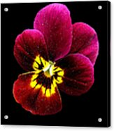 Purple Pansy On Black Acrylic Print