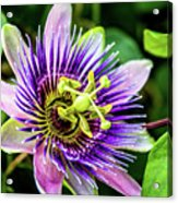 Purple Passion Bloom Acrylic Print