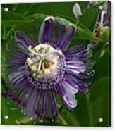 Purple Passion Flower Acrylic Print