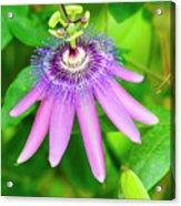 Purple Passion Vine Acrylic Print